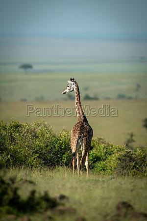 masai giraffe steht auf horizont drehen