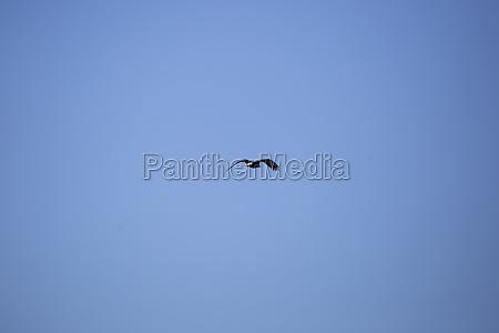 bald eagle leaving