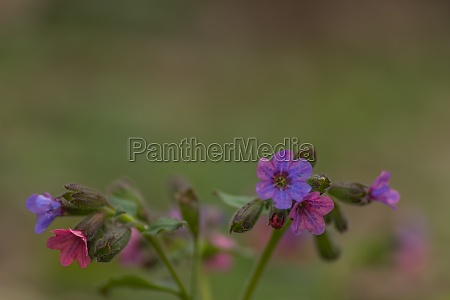 fresh, colorful, lungwort, in, the, nature - 29767885