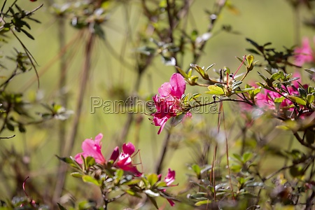 rosa, blumen - 29770395