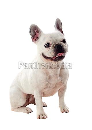 portraet im studio einer niedlichen bulldogge