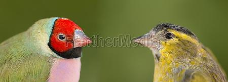 schoener vogel mit rotem gesicht der