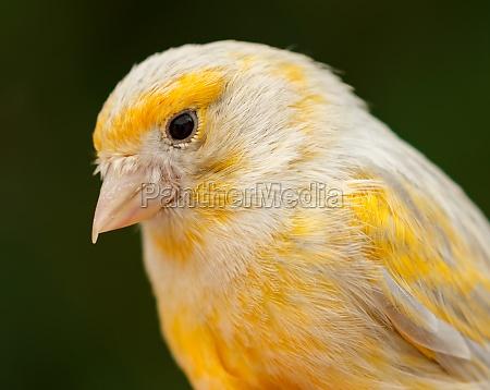 beautiful, yellow, canary - 29778472