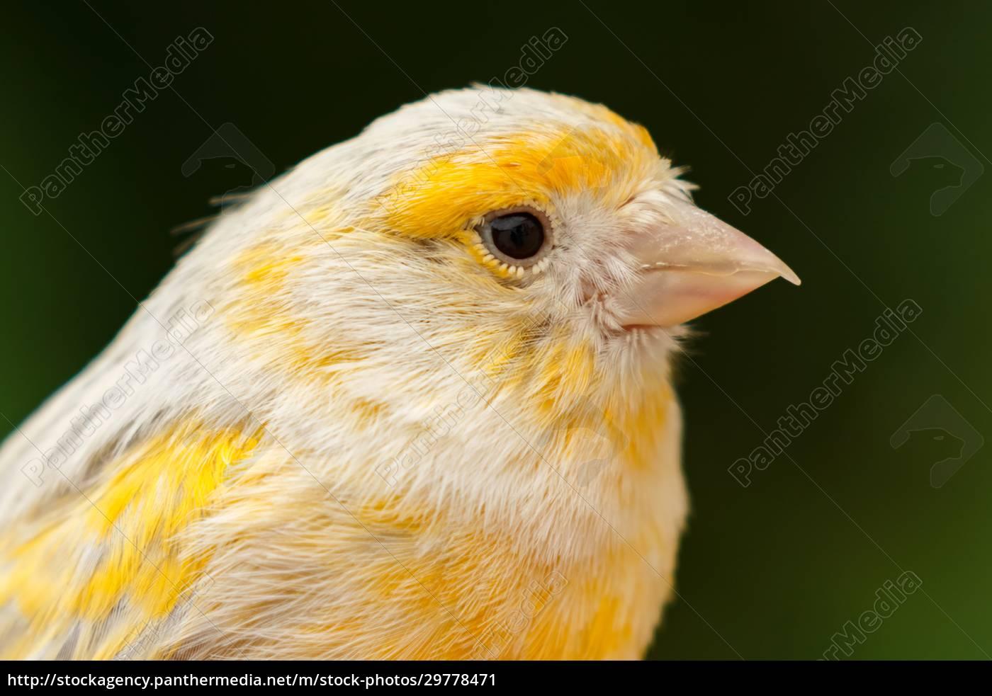 schöne, gelbe, kanarienvogel - 29778471