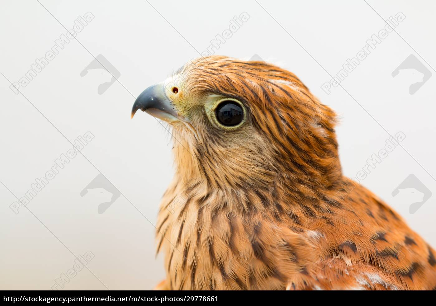 young, kestrel, with, a, beautiful, plumage - 29778661