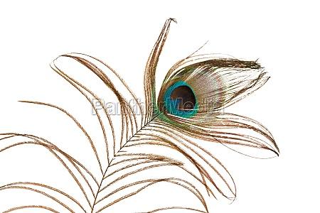zarte pfauenfeder
