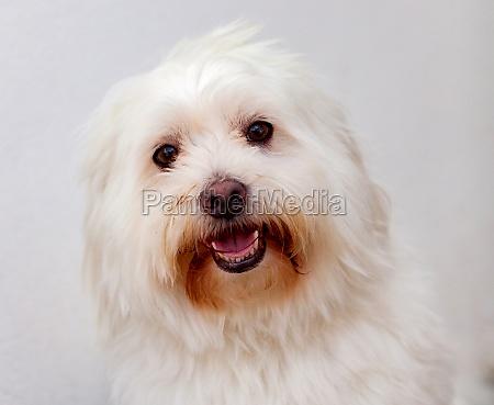 portratit eines weissen hundes mit langen