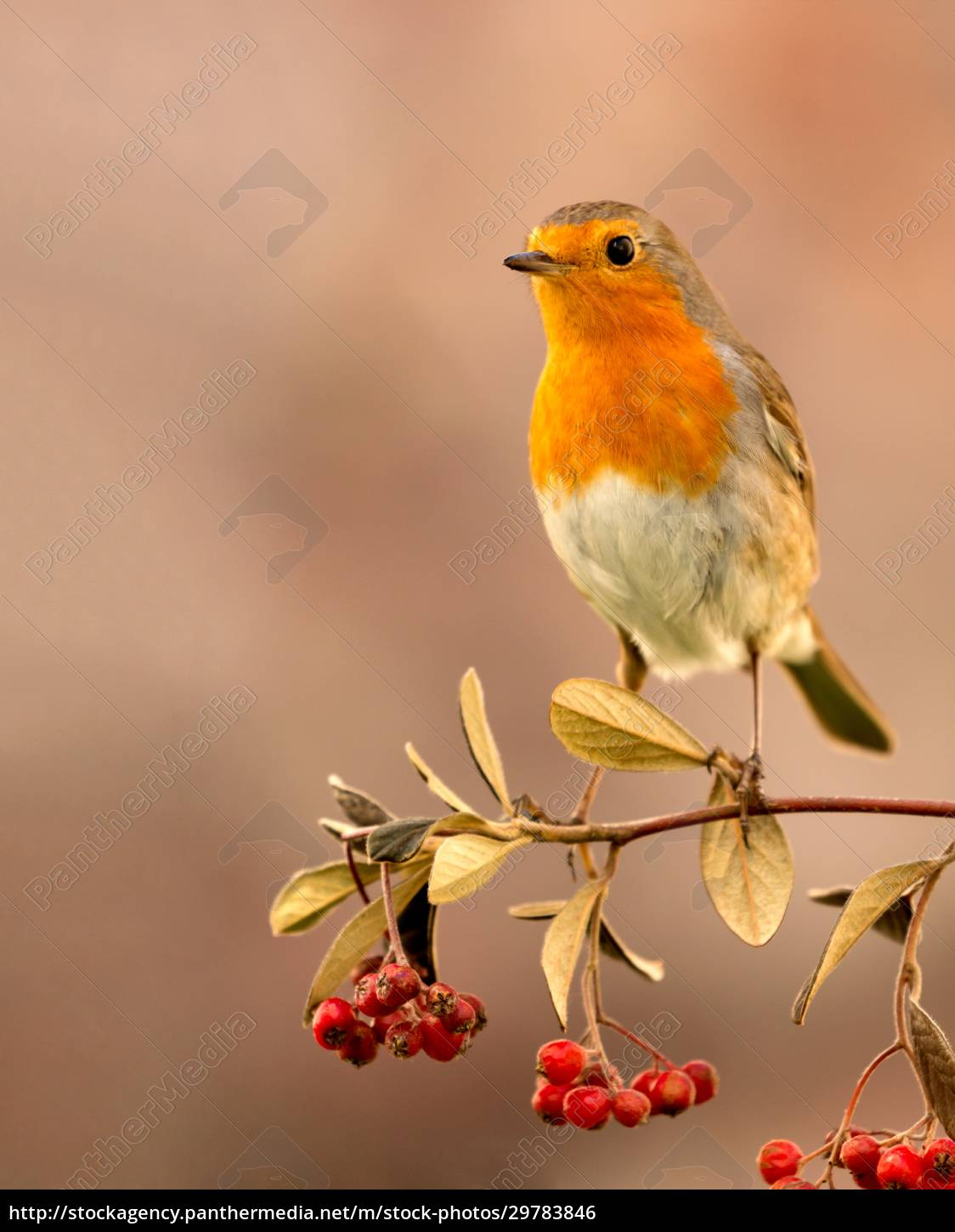 pretty, bird, with, a, nice, red - 29783846