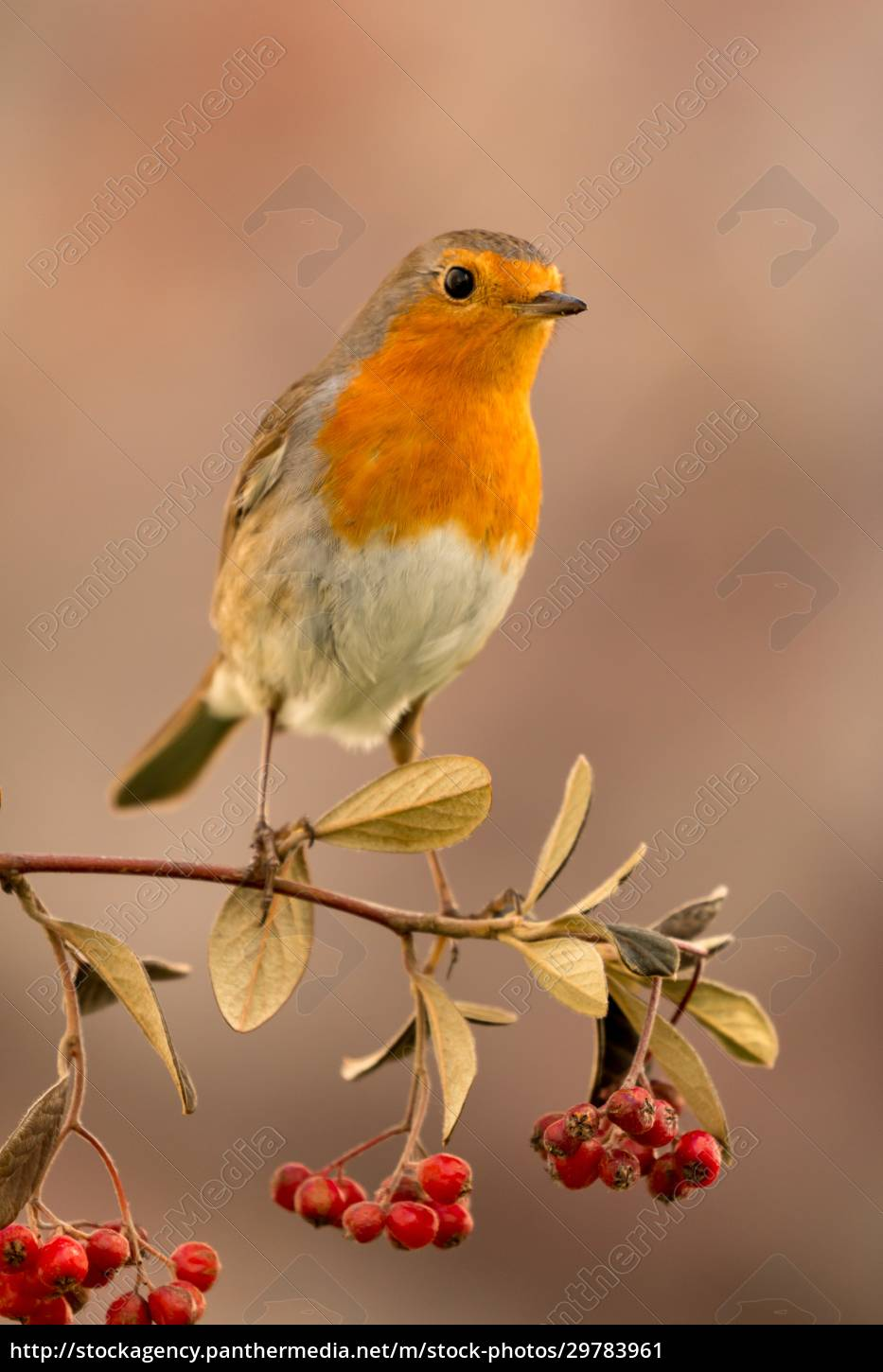 pretty, bird, with, a, nice, red - 29783961