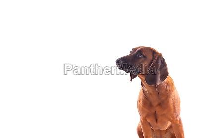 brauner hund aus bayern