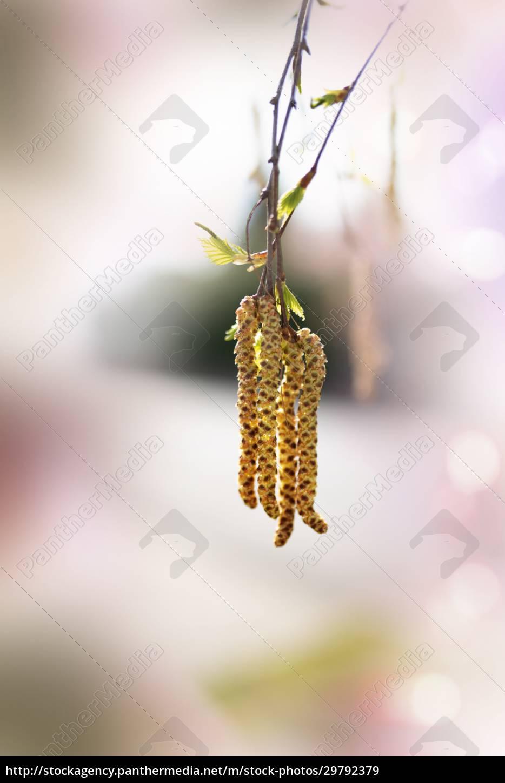 birch, bloom, in, spring - 29792379