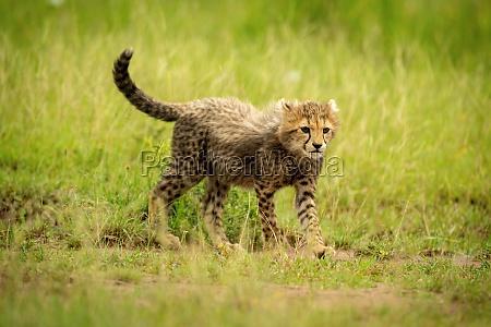 gepardenjunge kreuzt kurzes gras starrt nach