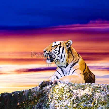 tigerportraet auf dem felsen mit schoenem