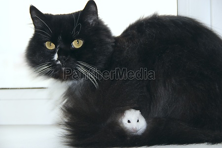 small, hamster, makes, friendship, with, cat. - 29824559