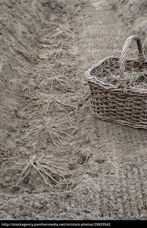 asparagus, plants, and, basket - 29829542