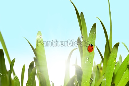 gruenes gras und marienkaefer