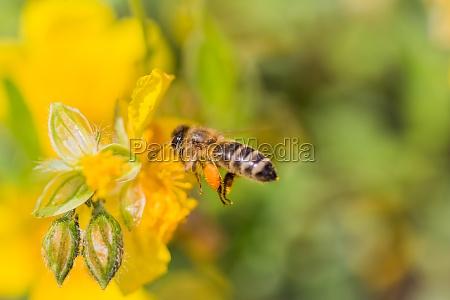 honigbiene mit pollenpellets flug um nektar