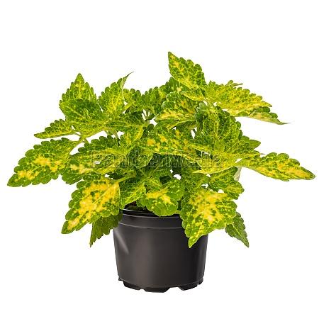 topfgruen coleus zimmerpflanze