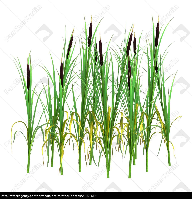 3d-rendering, typha, pflanzen, auf, weiß - 29861418