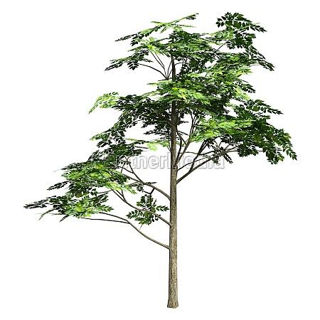 3d rendering aschebaum auf weiss
