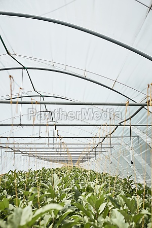 aubergine, plants, in, the, greenhouse - 29877643