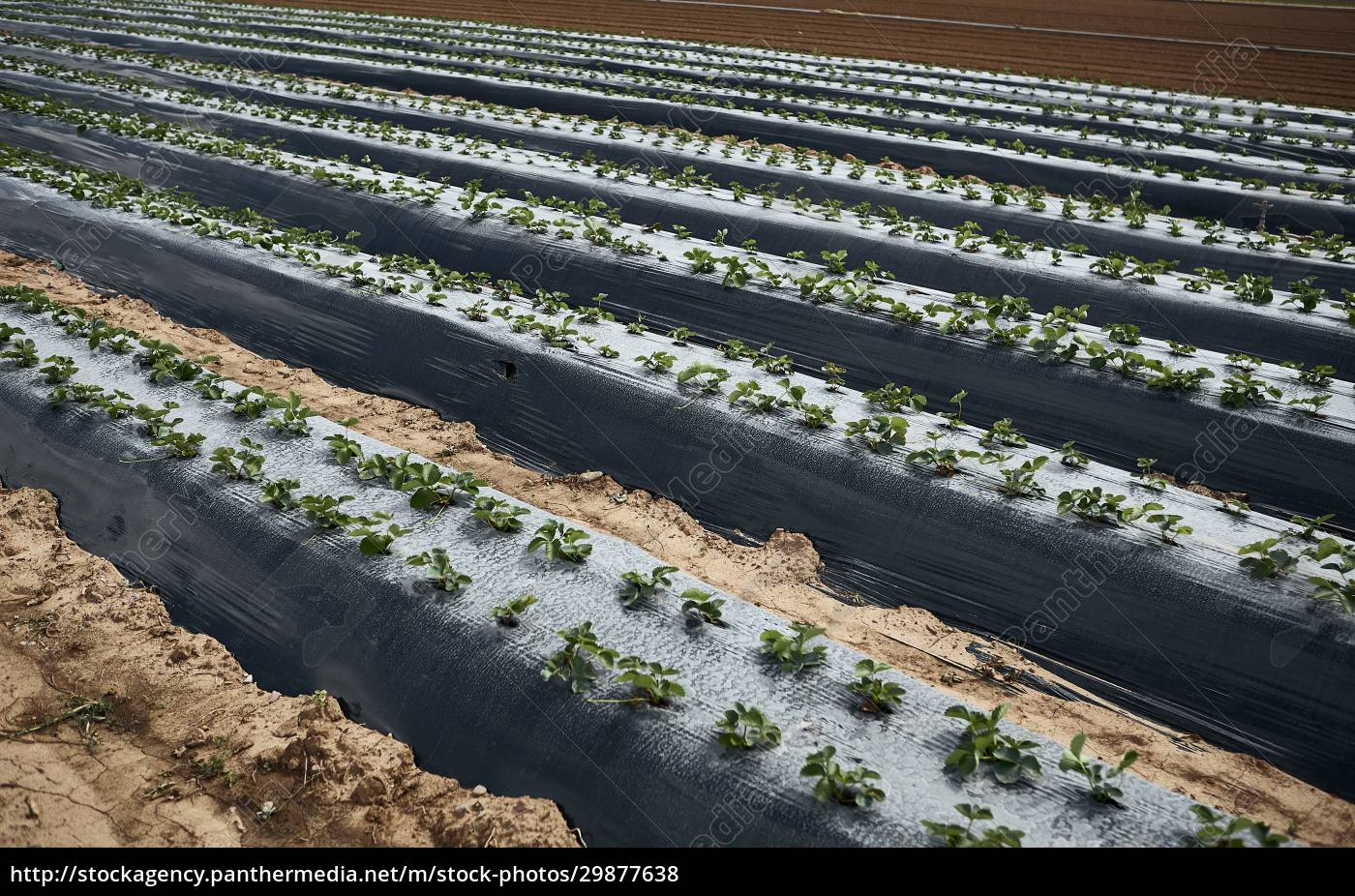 strawberry, plants, in, the, field - 29877638