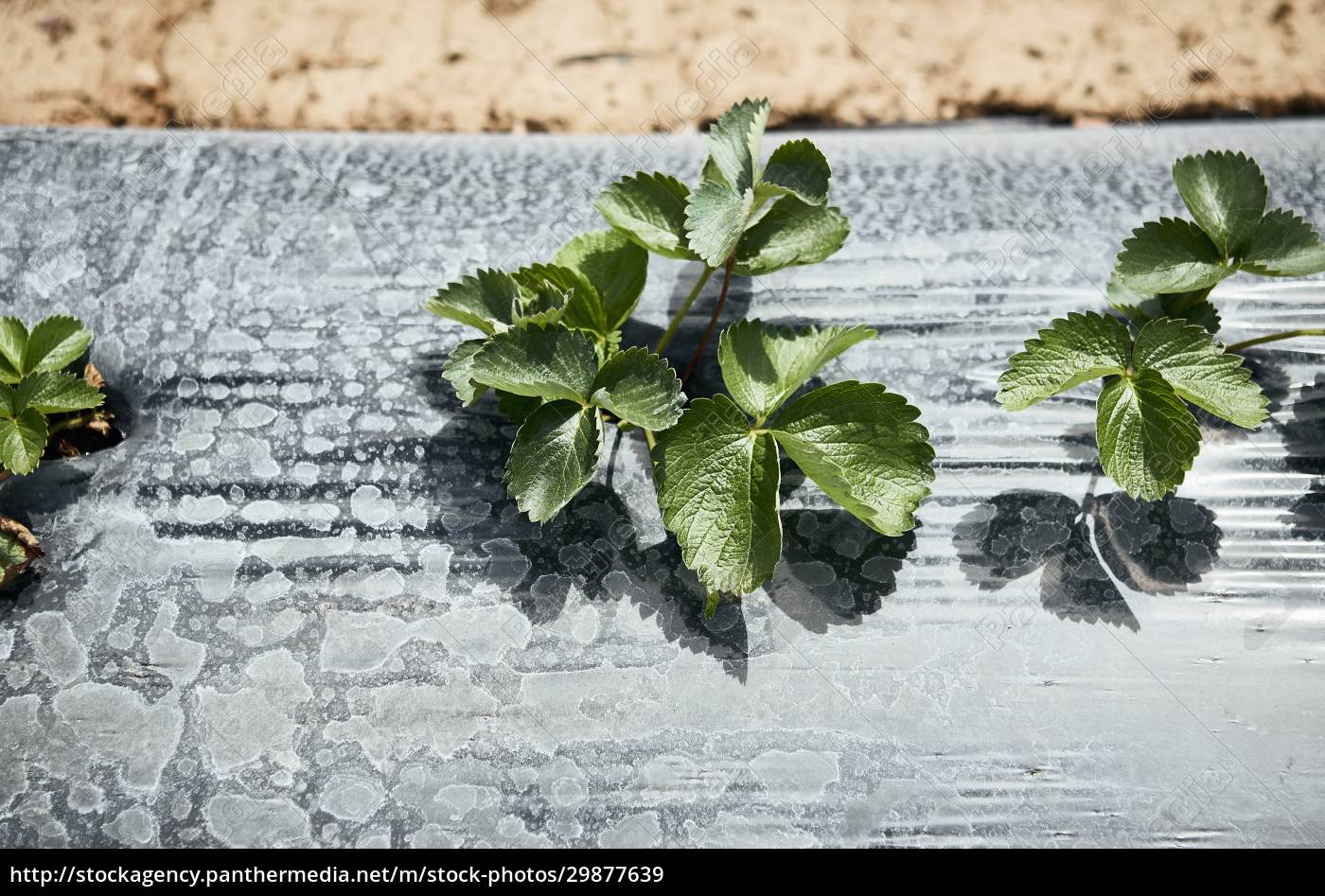 strawberry, plants, in, the, field - 29877639