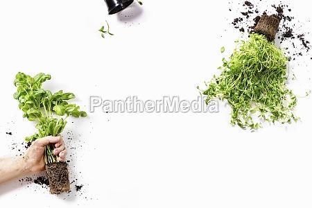 basilikum-, und, majoranpflanzen, männliche, hand, und, leere - 29887217
