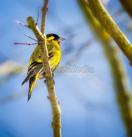 maennlicher schwarzkopf goldfink