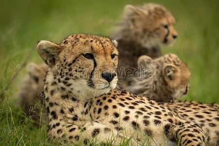 nahaufnahme des geparden der mit jungen