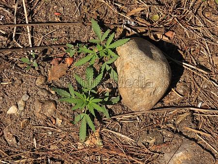 small, cannabis, plants. - 30060931