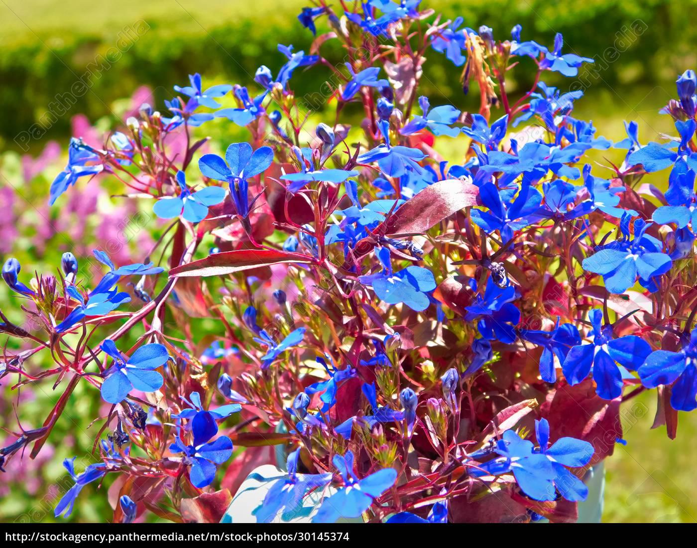 also, called, blue, lobelia, , true, to - 30145374
