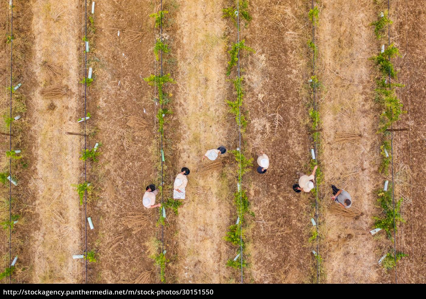 aerial, view, of, people, harvesting, grapes - 30151550