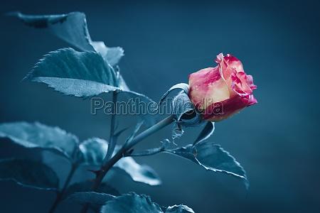 rote rosenblume mit unscharfem hintergrund in