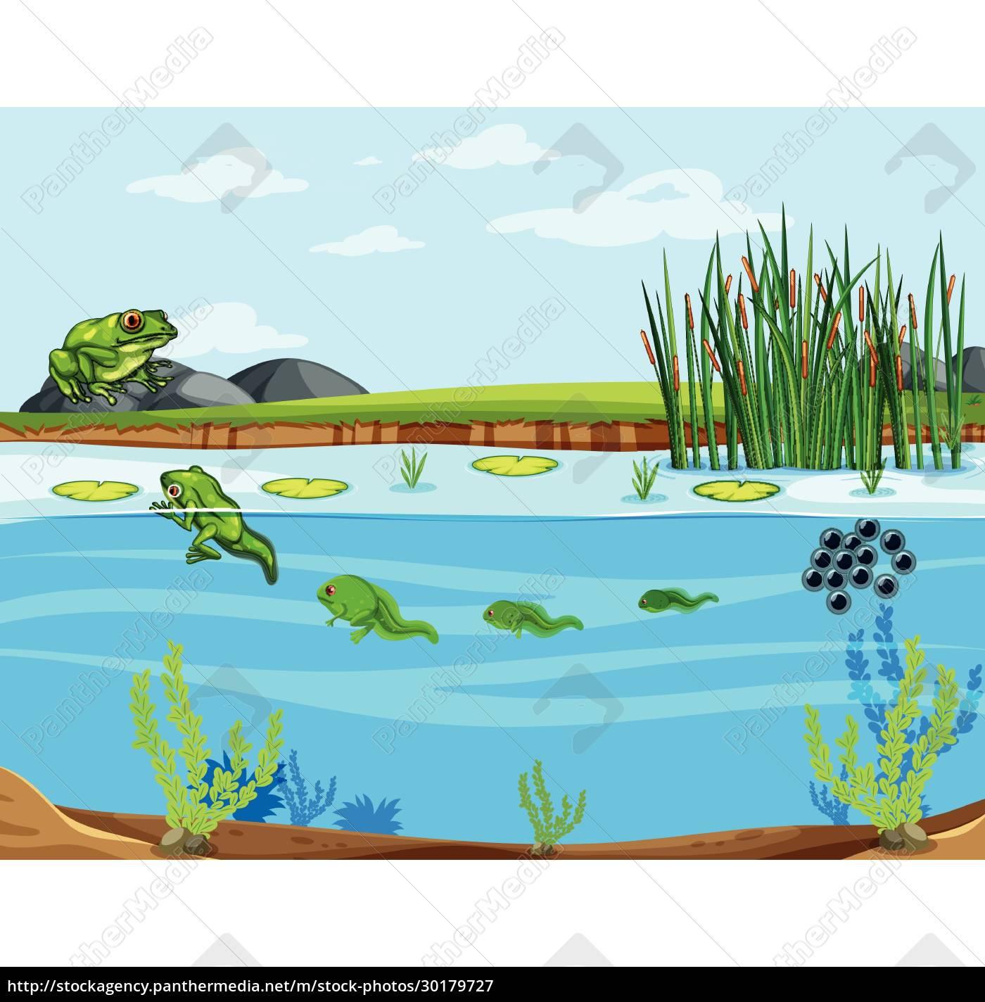 frog, life, cycle, diagram - 30179727