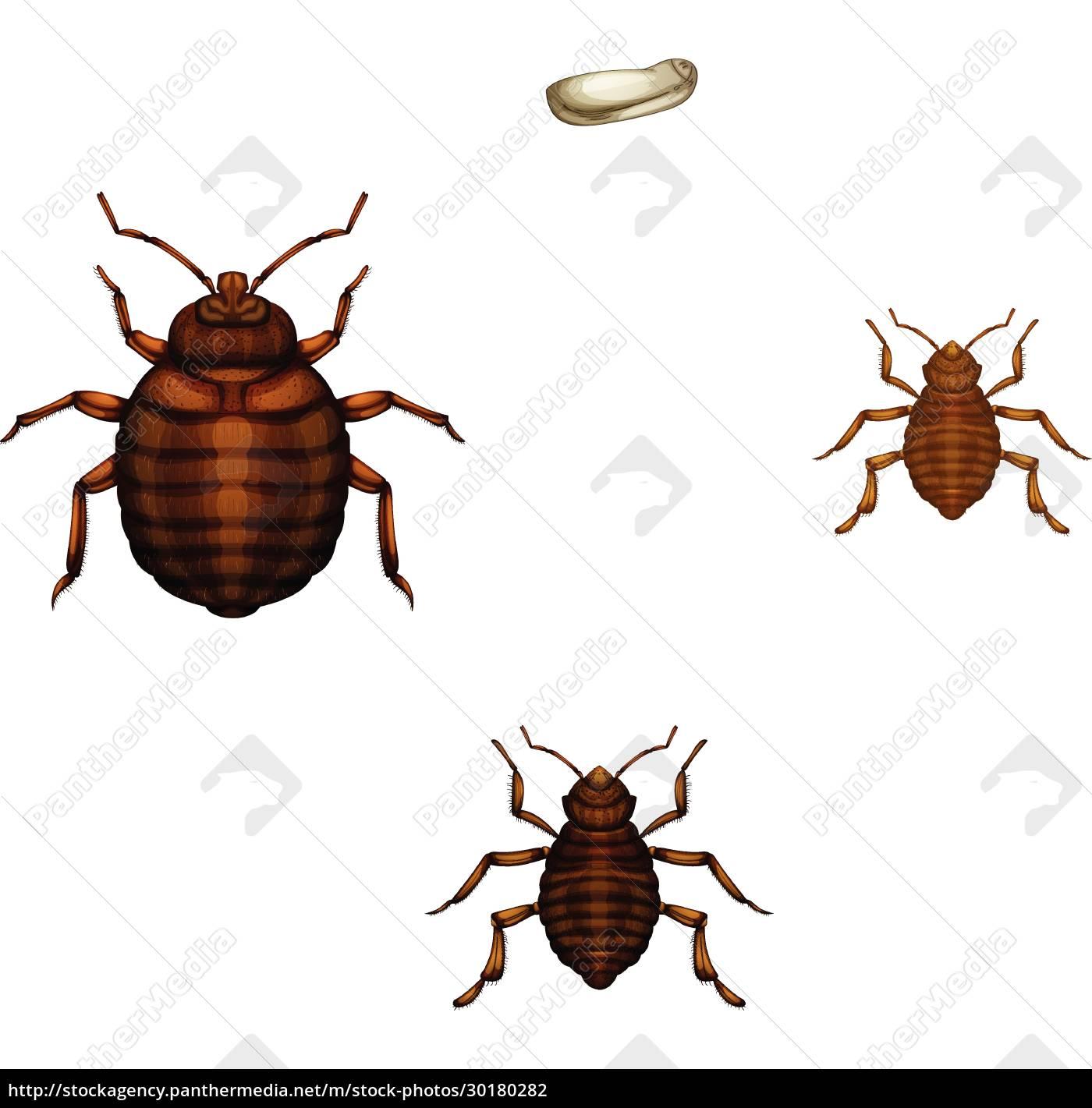 bed, bug, life, cycle - 30180282