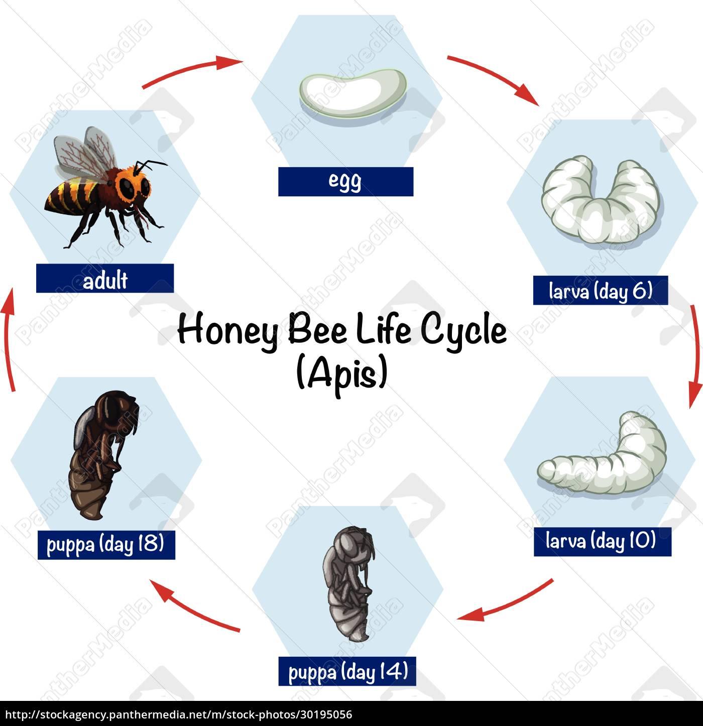 honey, bee, life, cycle - 30195056