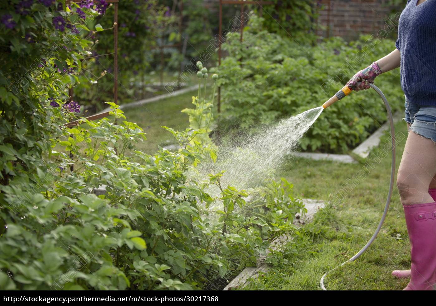 woman, with, hose, watering, vegetable, plants - 30217368