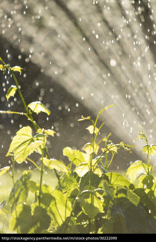 sprinkler, bewässerung, üppige, grünpflanzen, im, sonnigen - 30222090