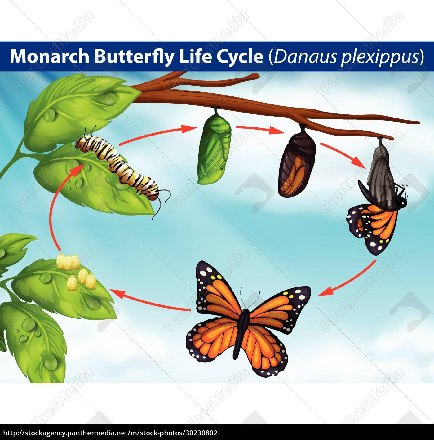 monarch, schmetterling, lebenszyklus - 30230802