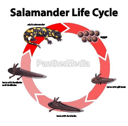 diagramm das den lebenszyklus von salamander