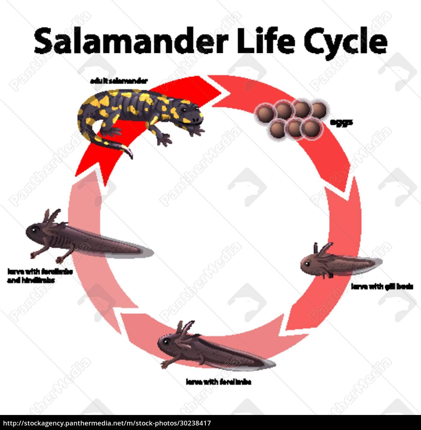 diagramm, das, den, lebenszyklus, von, salamander, zeigt - 30238417
