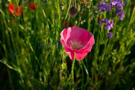 rosa mohnblume auf einer blumenwiese