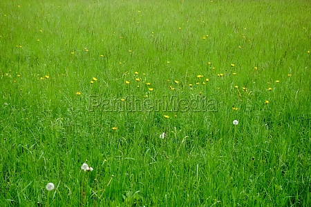 fresh, green, meadow, with, yellow, flowers - 30255693