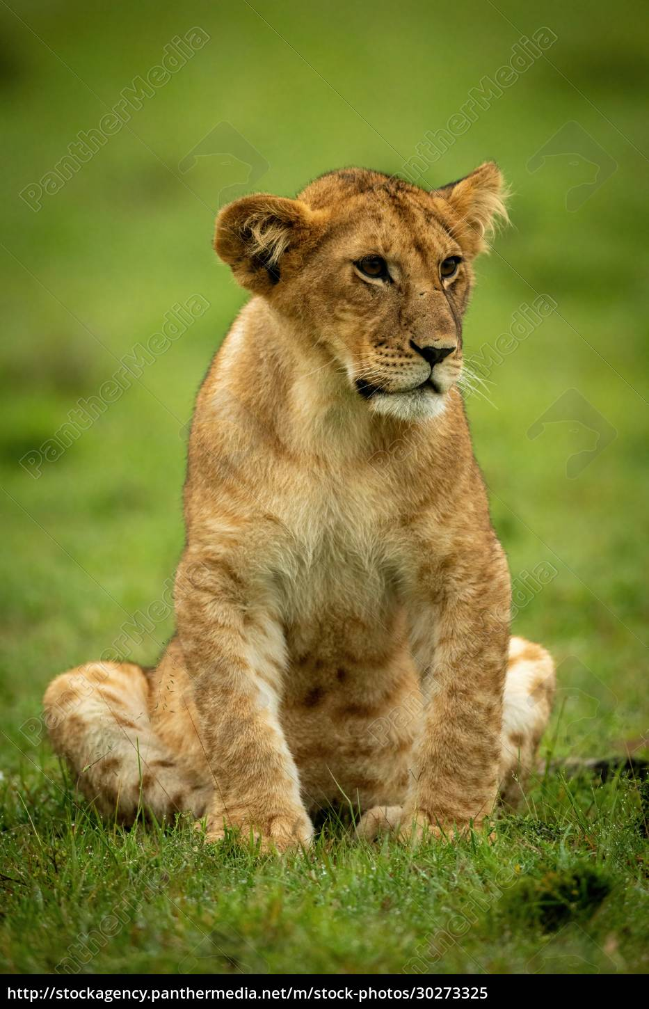 lion, cub, sits, staring, in, wet - 30273325