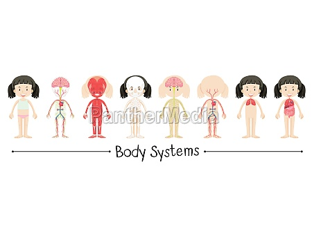 koerpersysteme der menschlichen maedchen illustration