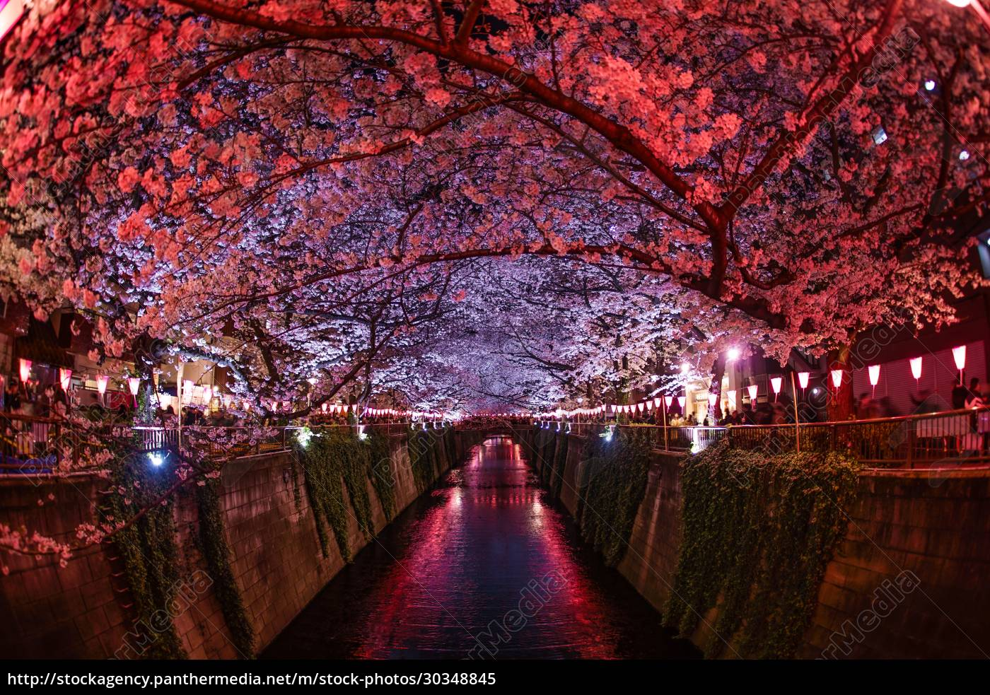cherry, blossoms, in, full, bloom, of - 30348845