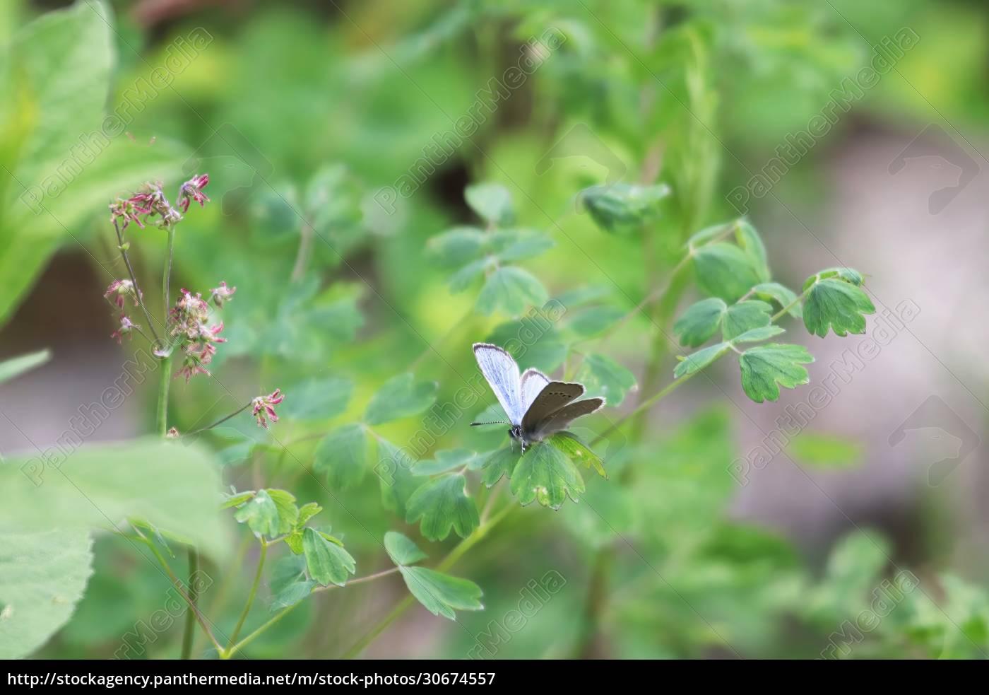 a, silvery, blue, gossamer, butterfly, sitting - 30674557