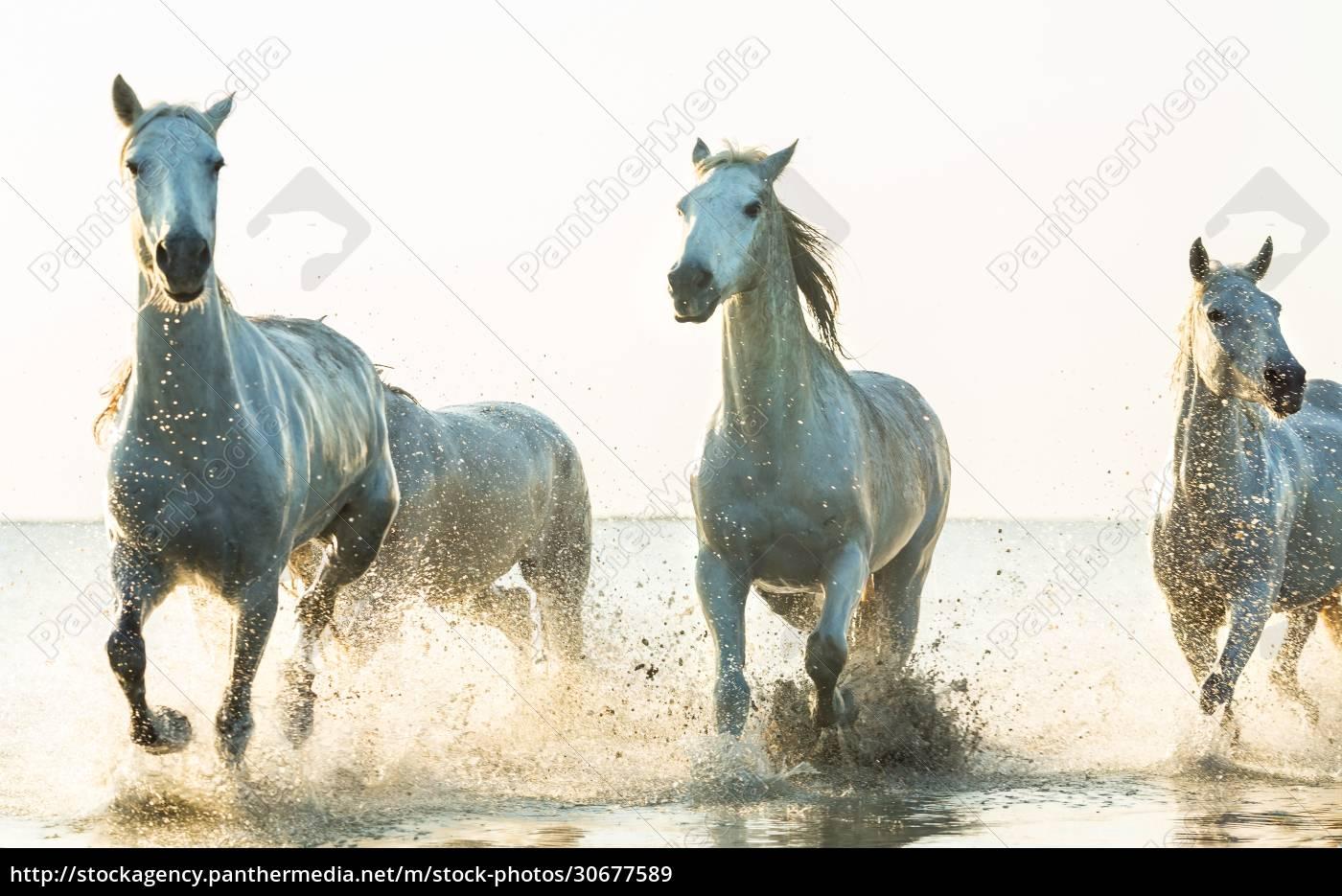 white, horses, running, through, water, , the - 30677589