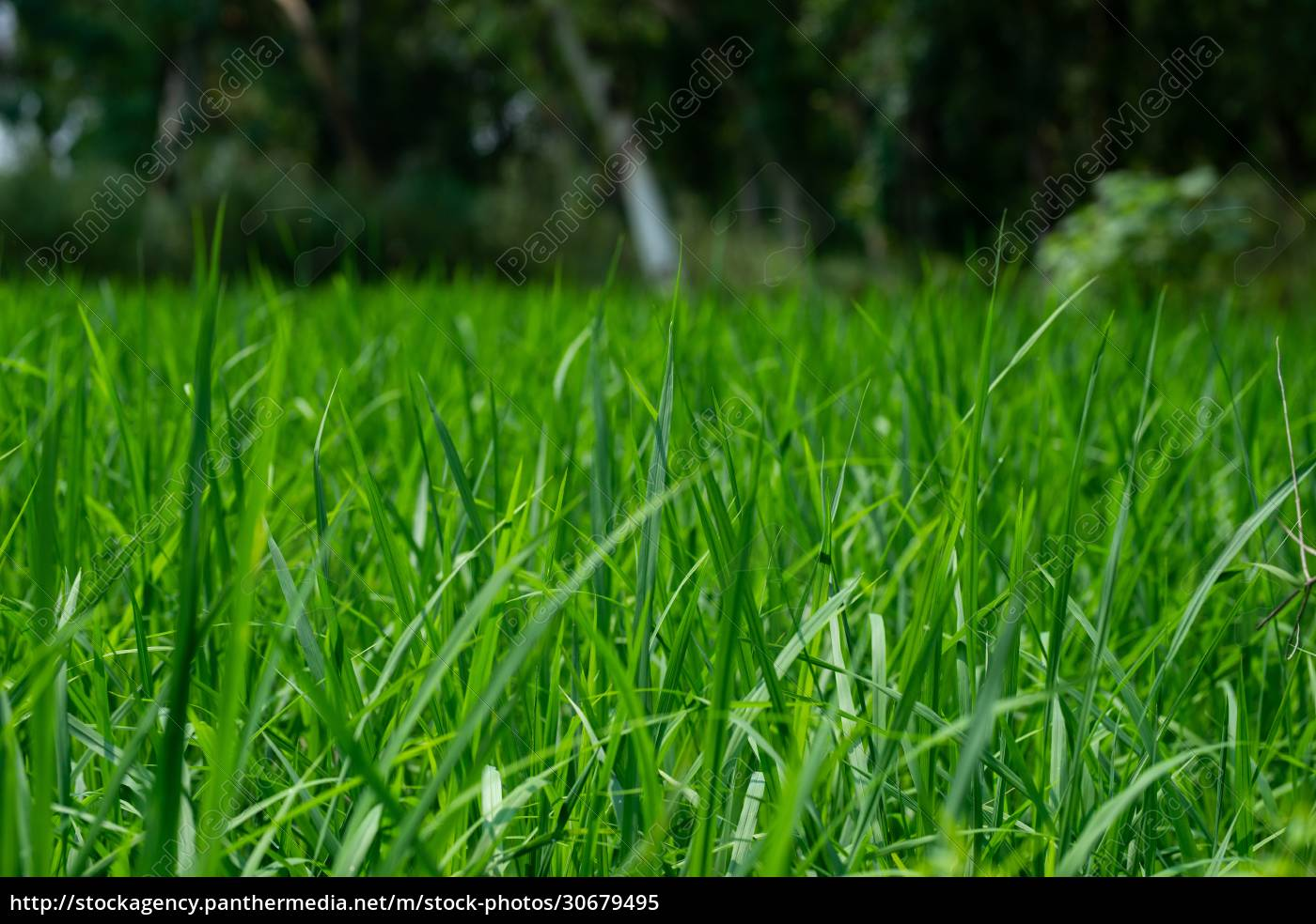 green, rice, plants, in, the, field, - 30679495